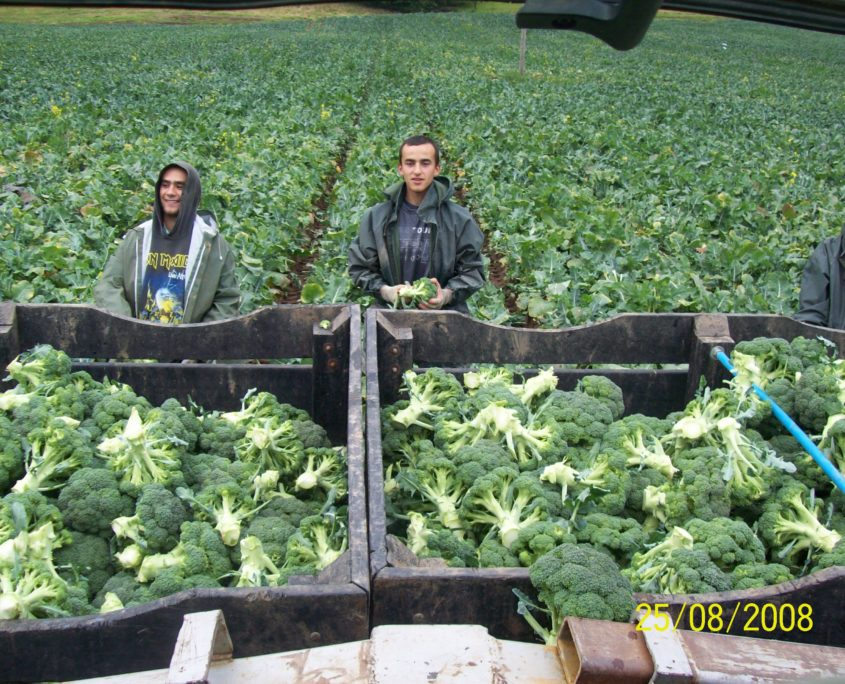 Brocolli Picking at Easter Grangemuir