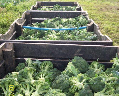 Brocolli Growing at Easter Grangemuir