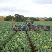 Brocolli Picking at Easter Grangemuir