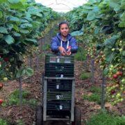 Strawberry Growing at Easter Grangemuir